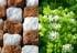 Стевия и нейния ефект върху нивата на кръвната захар